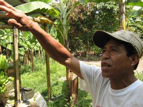 Alejandro Cerezo started with five boxes of banana a week. In three years, he has increased his production to 50 boxes a week, thanks to the technical help from Asoguabo.